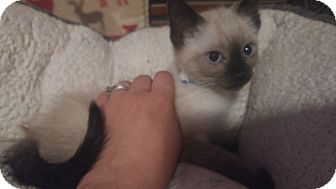 Siamese Kitten for adoption in Loveland, Colorado - Sarh