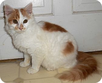 Maine Coon Kitten for adoption in Chattanooga, Tennessee - Othello