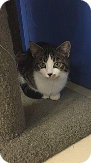 Domestic Shorthair Kitten for adoption in Seville, Ohio - Ellie (PETSMART MEDINA)