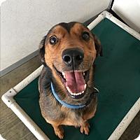 Hound (Unknown Type) Mix Dog for adoption in Visalia, California - Red