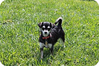 Terrier (Unknown Type, Small)/Chihuahua Mix Puppy for adoption in Astoria, New York - Linda