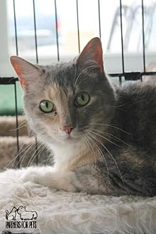 Domestic Shorthair Cat for adoption in Troy, Illinois - Opossum