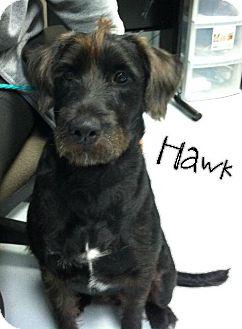 Standard Schnauzer/Labrador Retriever Mix Dog for adoption in Santa Fe, Texas - Hawk - Pending