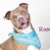 Adopt A Pet :: RAMBO - Sacramento, CA