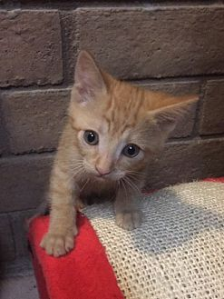 Domestic Shorthair Kitten for adoption in Phoenix, Arizona - Mango