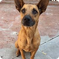 Adopt A Pet :: Grace - Santa Ana, CA