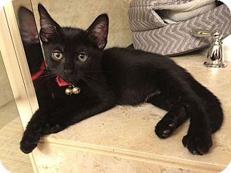 Adopt A Pet :: Eclipse  - Dallas, TX