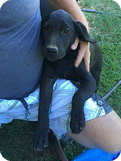 Labrador Retriever Mix Puppy for adoption in Patterson, New York - Larry