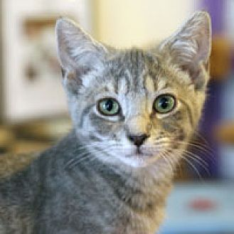 Domestic Shorthair Kitten for adoption in Pacific Grove, California - Heddi