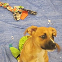 Adopt A Pet :: Lilly Grace - Rocky Mount, NC