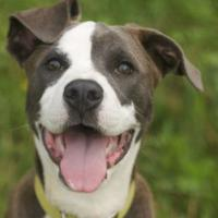 Adopt A Pet :: Koda - Boone, NC