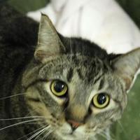 Adopt A Pet :: Simba - Lafayette, IN