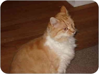 Domestic Mediumhair Cat for adoption in Victoria, British Columbia - Cosmo