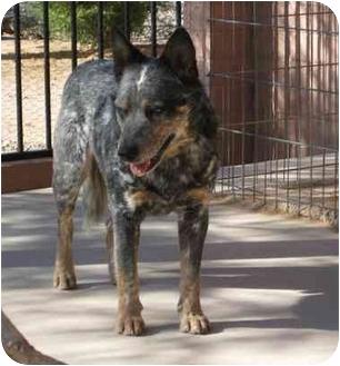 Australian Cattle Dog Dog for adoption in Phoenix, Arizona - Justin
