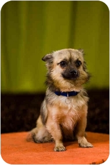 Chihuahua Mix Dog for adoption in Portland, Oregon - Sallee