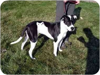 Labrador Retriever/Pointer Mix Dog for adoption in Grant Park, Illinois - Hayley