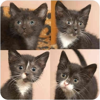 Domestic Shorthair Kitten for adoption in Chicago, Illinois - Chinese Food Crew