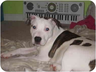 American Pit Bull Terrier Mix Puppy for adoption in Reisterstown, Maryland - Sugar