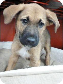 Shepherd (Unknown Type)/Australian Shepherd Mix Puppy for adoption in Detroit, Michigan - Forsythia-Adopted!