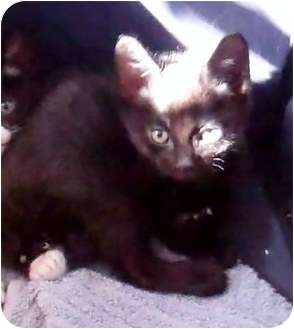 Domestic Shorthair Kitten for adoption in Las Vegas, Nevada - Daube
