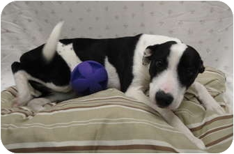 American Staffordshire Terrier Mix Dog for adoption in Spruce Pine, North Carolina - Hope