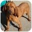 Photo 2 - Bloodhound Dog for adoption in Schaumburg, Illinois - Monty