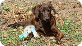 Labrador Retriever/Plott Hound Mix Dog for adoption in Westfield, Massachusetts - Mystery