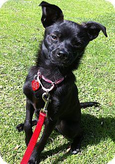 Basenji/Chihuahua Mix Puppy for adoption in Los Angeles, California - TATI