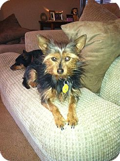 Yorkie, Yorkshire Terrier Mix Dog for adoption in Goodyear, Arizona - Buttercup