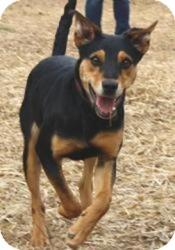 Miniature Pinscher/Doberman Pinscher Mix Puppy for adoption in Media, Pennsylvania - Camry