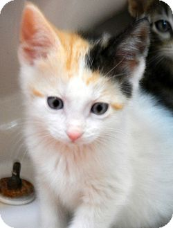 Domestic Shorthair Kitten for adoption in Troy, Michigan - Patch