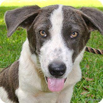 Basset Hound/Australian Shepherd Mix Dog for adoption in Groton, Massachusetts - Benny LongBoy