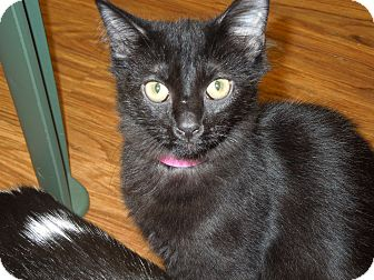 Domestic Mediumhair Cat for adoption in Medina, Ohio - Navvi
