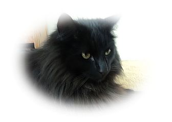 Maine Coon Cat for adoption in Olmsted Falls, Ohio - Charlie