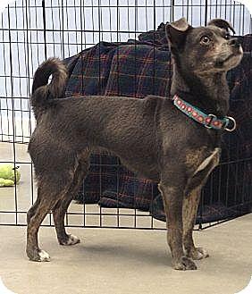 Chihuahua/Italian Greyhound Mix Dog for adoption in Oak Ridge, New Jersey - Hillary-Most Improved!