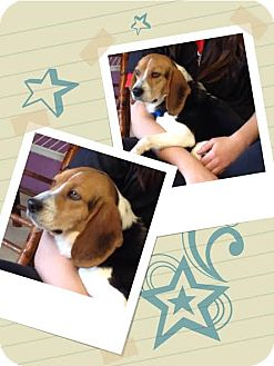 Beagle Dog for adoption in Urbana, Ohio - Nattie