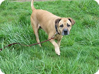 Labrador Retriever/Boxer Mix Dog for adoption in Tillamook, Oregon - Betsy