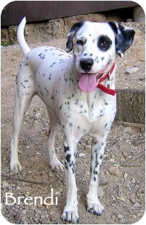 Dalmatian Dog for adoption in Mandeville Canyon, California - Brendi