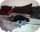 Domestic Mediumhair Kitten for adoption in Vancouver, British Columbia - Sacha
