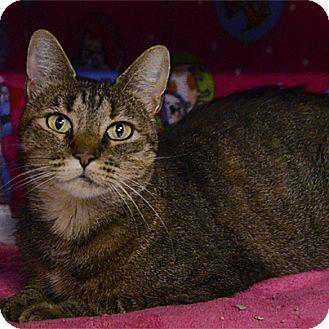 Domestic Shorthair Cat for adoption in Stillwater, Oklahoma - Maurelle