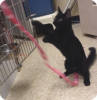 Domestic Shorthair Kitten for adoption in Colmar, Pennsylvania - Chapman