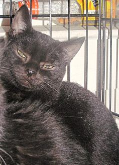 Domestic Shorthair Cat for adoption in Stanhope, New Jersey - Inky