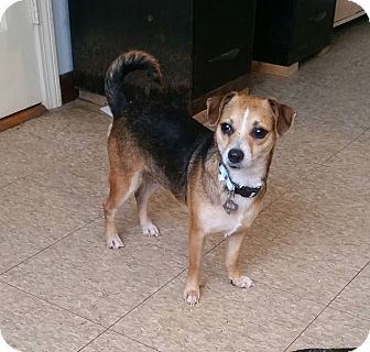 Chihuahua/Beagle Mix Dog for adoption in Freeport, Maine - Cookie