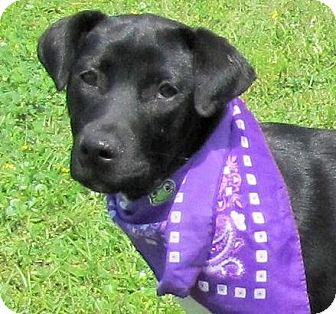 Labrador Retriever/American Bulldog Mix Puppy for adoption in Port St. Joe, Florida - Rainy