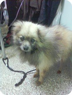 Spitz (Unknown Type, Medium)/Pomeranian Mix Dog for adoption in Long Beach, California - Duffy