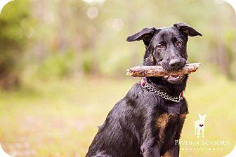 German Shepherd Dog Mix Puppy for adoption in Ormond Beach, Florida - Koda