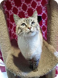 Siamese Cat for adoption in Orland Park, Illinois - Missy