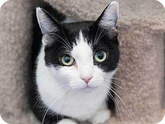 Domestic Shorthair Cat for adoption in Hawthorne, California - Katita