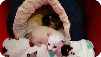 Siamese Kitten for adoption in Ocala, Florida - Jill (Tiny Gem)
