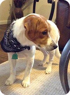 Beagle Mix Puppy for adoption in Coeburn, Virginia - Noel